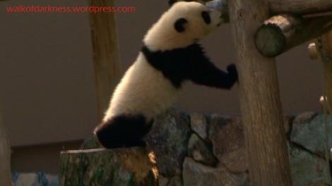 shirokuma_cafe_bonus_zoo_trip_dvd_screencap_baby_panda_02
