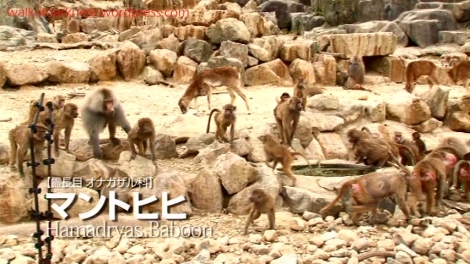 shirokuma_cafe_bonus_zoo_trip_dvd_screencap_group_safari_ride_baboons