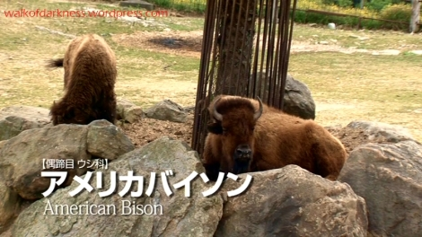 shirokuma_cafe_bonus_zoo_trip_dvd_screencap_group_safari_ride_bisons