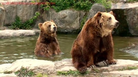shirokuma_cafe_bonus_zoo_trip_dvd_screencap_group_safari_ride_brown_bears_02