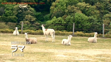 shirokuma_cafe_bonus_zoo_trip_dvd_screencap_group_safari_ride_llamas
