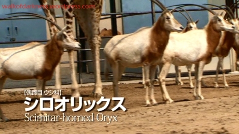shirokuma_cafe_bonus_zoo_trip_dvd_screencap_group_safari_ride_oryx
