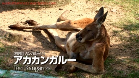 shirokuma_cafe_bonus_zoo_trip_dvd_screencap_group_safari_ride_red_kangaroo