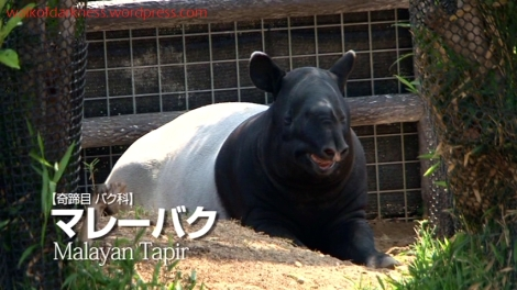 shirokuma_cafe_bonus_zoo_trip_dvd_screencap_group_safari_ride_tapir
