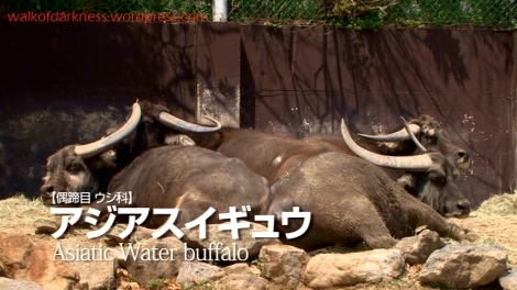shirokuma_cafe_bonus_zoo_trip_dvd_screencap_group_safari_ride_water_buffalos