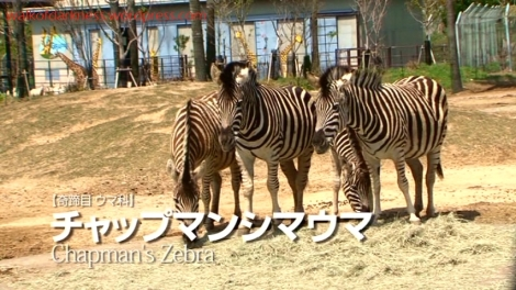 shirokuma_cafe_bonus_zoo_trip_dvd_screencap_group_safari_ride_zebras