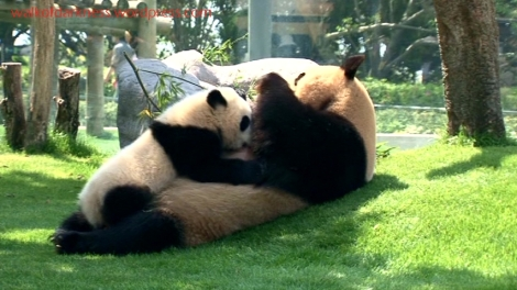 shirokuma_cafe_bonus_zoo_trip_dvd_screencap_mama_and_baby_panda_02